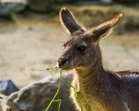 Wschodnia popielata kangura łasowania trawa, twarz w zbliżeniu, torbacz od Australia obraz stock