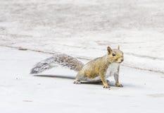 Wschodnia Popielata wiewiórka Floryda obraz royalty free