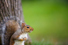 Wschodnia Popielata wiewiórka Zdjęcia Stock