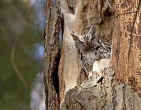 Wschodnia sowa w drzewie Zdjęcia Stock
