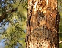 Wschodnia sowa w drzewie Zdjęcia Royalty Free