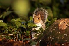 wschodnich szarość wiewiórka Obraz Royalty Free