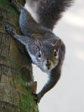 Wschodnich szarość wiewiórki puszka Nadchodzącego drzewa Bezpośredni kontakt wzrokowy obraz royalty free