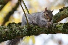Wschodnich szarość wiewiórki Sciurus carolinensis obraz stock