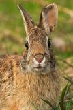 wschodnie cottontail królik Obrazy Stock