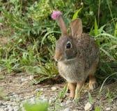 wschodnie cottontail królik Zdjęcia Royalty Free