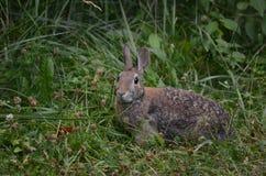 wschodnie cottontail królik Zdjęcie Royalty Free