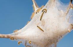 Wschodnie Namiotowe gąsienicy na ich sieci Obrazy Stock