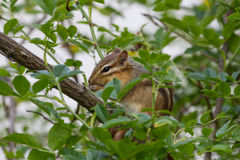 wschodnie wiewiórka Fotografia Stock