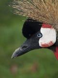 Wschodniego Afrykanina Koronowany Żuraw Zdjęcia Royalty Free
