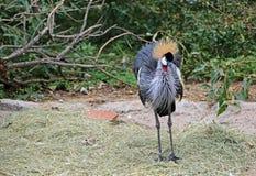 Wschodniego afrykanina Koronowany żuraw Zdjęcie Royalty Free