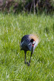 Wschodniego afrykanina Koronowany żuraw Obraz Stock