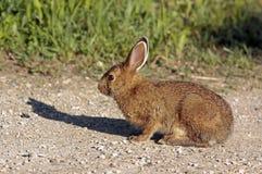 Wschodniego cottontail królik Fotografia Royalty Free