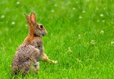 Wschodniego cottontail królik siedzi up w koniczynie Zdjęcia Stock