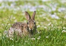 Wschodniego Cottontail królik w koniczynie Obrazy Stock