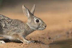 Wschodniego Cottontail królik w Południowym Teksas, usa Zdjęcie Stock