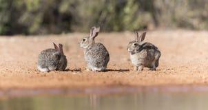 Wschodniego Cottontail królik w Południowym Teksas, usa Zdjęcia Royalty Free