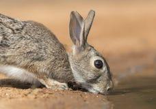Wschodniego Cottontail królik w Południowym Teksas, usa Obraz Stock