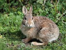 Wschodniego Cottontail królik Obrazy Royalty Free