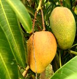 Wschodniego indianina Jamajscy mango Obraz Royalty Free