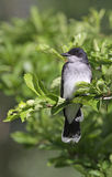 Wschodniego Kingbird profil Fotografia Royalty Free