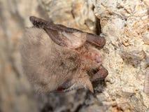 Wschodniego pipistrelle nietoperza Pipistrellus subflavus Fotografia Stock