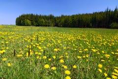 wsi dandelions wiosna kolor żółty fotografia stock