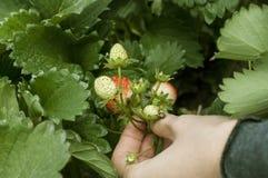 Wskazane truskawki świeże od gospodarstwa rolnego Fotografia Stock