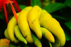 Wskazany palcem cedrat owoc spojrzenia jak palce Bardzo interesting〠' fotografia royalty free