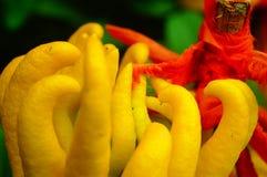 Wskazany palcem cedrat owoc spojrzenia jak palce Bardzo interesting〠' zdjęcie stock