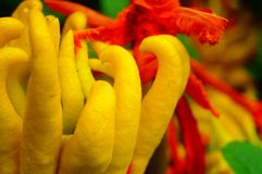 Wskazany palcem cedrat owoc spojrzenia jak palce Bardzo interesting〠' fotografia stock