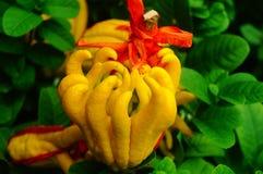 Wskazany palcem cedrat owoc spojrzenia jak palce Bardzo interesting〠' obraz stock