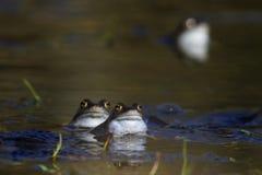 wspólna żaba Zdjęcie Stock