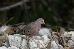 wspólne gołębie błot Florydy ziemi Fotografia Royalty Free