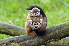 wspólne małpia wiewiórka obraz royalty free