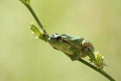 wspólny żaby drzewo obraz royalty free