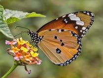 wspólny motyla proste tygrys Obrazy Royalty Free