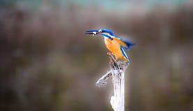 wspólny zimorodek zdjęcie royalty free