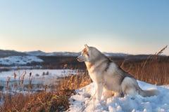 Wspaniały, szczęśliwy i bezpłatny siberian husky psa obsiadanie na wzgórzu w więdnącej trawie przy zmierzchem na halnym tle, obraz stock