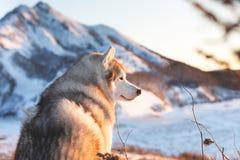Wspaniały, szczęśliwy i bezpłatny siberian husky psa obsiadanie na wzgórzu w więdnącej trawie przy zmierzchem na halnym tle, obrazy stock