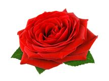 Wspaniała czerwieni róża na bielu Obraz Royalty Free