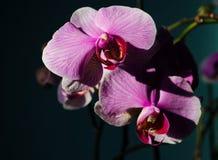 Wspaniała gałąź orchidea z ampułą kwitnie kwitnął i obrazy royalty free