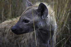 wspaniała hiena zdjęcia stock