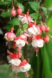 Wspaniała kwitnąca fuksja w naturze Zdjęcia Royalty Free
