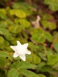 Wspaniałego Białego Anemonowego nemorosa ` plenów Alba ` Windflow Fotografia Stock