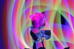 Wspaniałej róży jaskrawi czerwoni karmazyny barwią na abstrakcjonistycznym tle zdjęcie stock