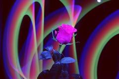 Wspaniałej róży jaskrawi czerwoni karmazyny barwią na abstrakcjonistycznym tle fotografia royalty free