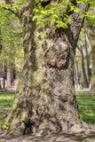 Wspaniały antyczny płaski drzewo Zdjęcia Stock