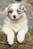 Wspaniały australijski pasterski szczeniak patrzeje ciebie Zdjęcia Stock