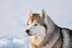 Wspaniały, bezpłatny i szczęśliwy siberian husky psa obsiadanie na śniegu w zima lesie przy zmierzchem, obrazy stock